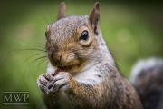 Squirrel-in-Ruskin-Park